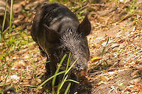Wild boar patiently watched - camera in hand - until it came up to investigate.