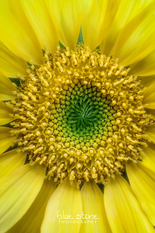 The brilliant yellow petals and deep green center of a sunflower elates the spirit.<br /> <br /> Wall art is available in metal, canvas, float wrap and standout. Art prints are available in lustre, glossy, matte and metallic finishes.