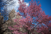 The early cherries are in full bloom in Central Park today March 27, 2021.