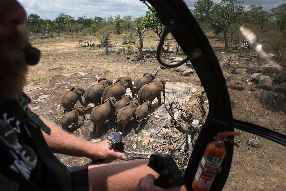 Elephant capture aerial<br /> Aerial view of elephants from helicopter to be darted for relocation.<br /> Zimbabwe
