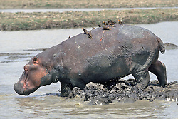 Hippopotamus With Birds Riding On Back