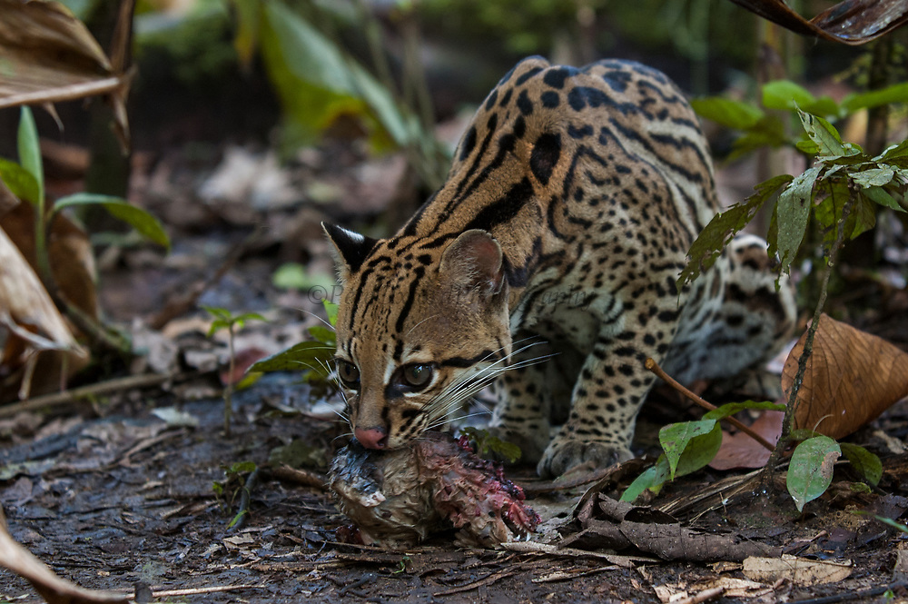 Ocelot (Felis (Leopardus) pardalis) feeding on water opossum.<br /> Amazon Rain Forest. ECUADOR. South America<br /> Range: Forest and steppe from Arizona to n Argentina.<br /> Small cat weighing 11 - 16kgs. They prey on small mammals, birds, reptiles and are equally at home on the ground and in trees.  They are excellent climbers and swimmers.