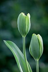 Tulipa 'Green Power'