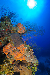 Orange Elephant Ear Sponge, Agelas clathrodes, Great Star Coral, Montastrea cavernosa, Sheet or Lettuce Coral, Agaricia sp., and Deepwater Sea Fan, Iciligorgia schrammi, thriving, West End, Grand Bahama, Atlantic Ocean
