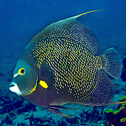 French Angelfish inhabit reefs and sandy areas in Tropical West Atlantic; picture taken Tobago.