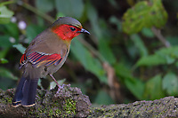 Red-faced Liocichla, Liocichla phoenicea, bird sitting on a branch in  Baihualing, Gaoligongshan, Yunnan, China