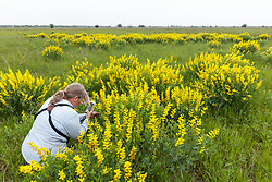 Photographers in midst of Yellow Wild Indigo (Baptisia sphaerocarpa) wildflowers on the Daphne Prairie, a remnant of the Blackland Prairie, Mount Vernon, Texas, USA.