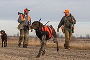 John Zeman (left) and Bob St. Pierre, along with St. Pierre's German Shorthair, Esky, wearing a GPS tracking collar, hunt pheasants on a Minnesota public hunting area.