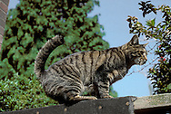 Cat On Wall - Felis silvestris catus