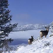 Mule Deer, (Odocoileus hemionus) Adults in winter. Bridger Mountains, Montana.