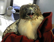 """Oct 15, 2011 - Grapevine, Texas, USA - One lucky hawk defied the odds by surviving a head-on collision with a Lexus - at 60 mph. Auto mechanic Matt Whitehead has seen plenty of cars come in for repairs at the Lexus dealership in Grapevine, Texas after slamming into """"small birds, rodents, squirrels, reptiles - anything but fish,"""" he says. When a customer pulled into his service bay with a bird of prey stuck in the car's grille, Whitehead was expecting it would be another case of road kill. """"Every bird we've ever seen hit a car has died,"""" he explains. However, closer inspection revealed the raptor was still alive and Whitehead, with help from fellow mechanics, was able to release it from the wreckage. """"It wasn't even missing a feather,"""" marvels Whitehead. The bird, a juvenile red-tailed hawk, was too stunned to fly, so Whitehead wrapped it in a blanket and drove it to a nearby veterinarian. A few weeks later, it had fully recovered from a concussion and some internal injuries and was released back into the wild.<br /> (Credit Image: © Park Place Lexus/Exclusivepix)"""