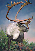 Caribou, Denali National Park, Alaska. Autumn bulls reach four feet at the shoulder and weigh 400 pounds.