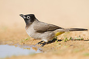 Yellow-vented Bulbul (Pycnonotus xanthopygos) on a brunch, negev desert, israel