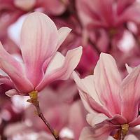 """""""Magnolia Abundance""""<br /> <br /> Flowers by Rachel Cohen"""