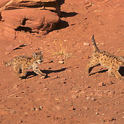 Mountain Lion or Cougar, (Felis concolor) Young cubs chasing each other in canyonlands of southern Utah Red rock country. Captive Animal.