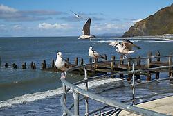 Seagulls, Aberystwyth Wales