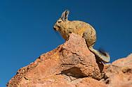 South America, Andes, Altiplano, Bolivia,Viscacha,