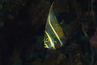 Juvenile French Angelfish...Shot in British Virgin Islands