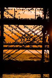 © Licensed to London News Pictures. 5/02/2017. Aberystwyth, Wales, UK. Starling murmurations as the sun sets dramatically over the sea in Aberystwyth,  thousands of tiny starlings return from their daytime feeding grounds to roost overnight for safety and warmth on the forest of cast iron legs underneath the town's Victorian seaside pier on the  west Wales coast of Cardigan Bay . Photo credit: Keith Morris/LNP