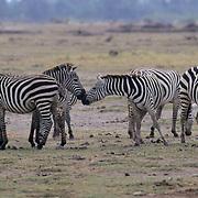 Burchell's Zebra, (Equus burchelli) On the Serengeti plains in Kenya. Africa.