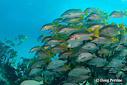 school of mixed grunts and snappers, including schoolmaster snappers, Lutjanus apodus, and black margates, Anisotremus surinamensis, Hol Chan Marine Reserve, Ambergris Caye, Belize, Central America ( Caribbean Sea )
