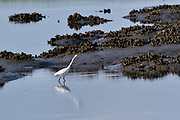 A great egret also called a great white heron hunts for fish in the salt marshes of the Cape Romain National Wildlife Refuge surrounded by oyster mounds near Charleston, South Carolina. The 66,287 acre National Wildlife Refuge encompass water impoundments, creeks, bays, emergent salt marsh and barrier islands most of which is only accessible by boat.