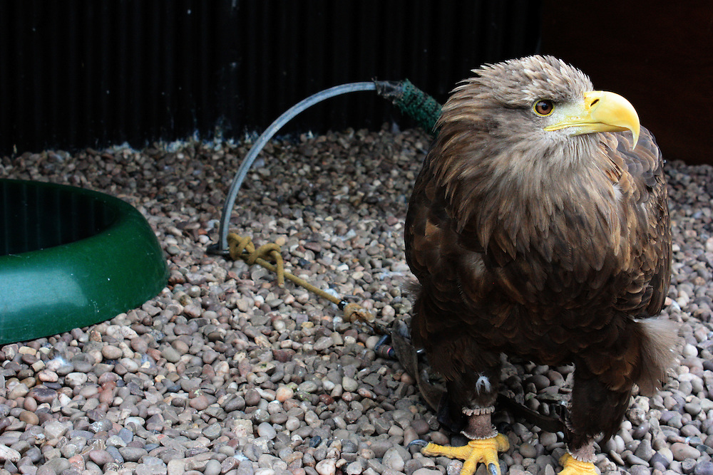 White-tailed sea eagle tethered in a UK zoo