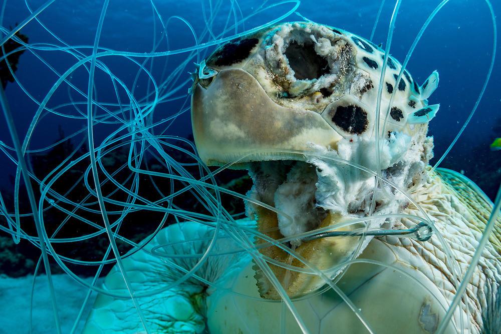 Dead green sea turtle (Chelonia mydas) hooked and tangled in fishing line as bycatch. Image made in The Bahamas.