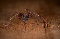 Indoor Spider. Image taken with a Nikon D4 and 105 mm f/2.8 VR macro lens (ISO 100, 105 mm, f/11, 1/60 sec) and ring flash.