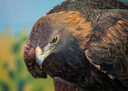Meet Donald. Donald is the first Golden Eagle Ambassador and we are proud to have both eagle species that are native to North America represented at the National Eagle Center.<br /> <br /> Donald came to the National Eagle Center after being treated at the California Raptor Center. He had been hit by a car near the town of Placerville, CA, breaking his right wing in two places. Donald is no longer able to sustain flight.<br /> <br /> We are unsure of Donald's exact age. His fully adult plumage suggests he was at least five years of age when he was injured, so he hatched sometime before 2002.<br /> <br /> Donald arrived at the National Eagle Center on January 8, 2008 and was named for the Donald Weesner Charitable Trust, whose generous donation made his arrival and training possible. During his first year, he continued to be bashful among the other eagles and with guests. He often spent the day looking only at the murals with quick glances toward people. Today, Donald often displays quite relaxed postures in the mews.<br /> <br /> Golden eagles can be found around the world in the northern hemisphere, and Donald's presence at the National Eagle Center has ignited new interest in understanding the life and habitat of golden eagles.