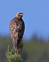 Swainson's Hawk, Grand Teton National Park