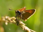 Small skipper butterfly (Thymelicus sylvestris), Blean Woodlands, Kent UK