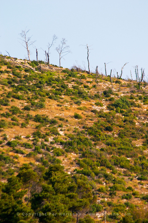 Hilltop crest with very dry barren land and a few naked trees that have been ravaged by forest fire. Prizba village. Korcula Island. Prizba, Riva Apartments, Danny Franulovic. Korcula Island. Dalmatian Coast, Croatia, Europe.