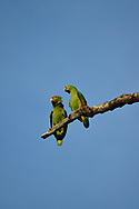 A pair of Red-lored Parrots (Amazona autumnalis) sit on a branch against a blue sky in Golfo Dulce, Costa Rica.