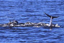Bottlenose Dolphin Tail Slap