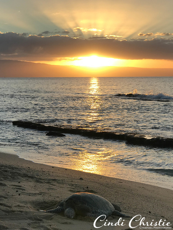 A green sea turtle (honu) rests on a sandy Kahana beach at sunset on Jan. 9, 2018, in Maui, Hawaii. The species is considered threatened. (© 2018 Cindi Christie/Cyanpixel)