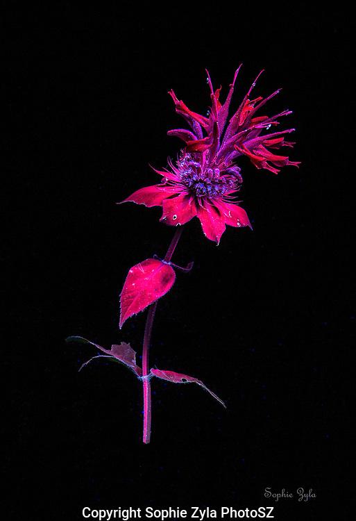 Scarlet Beebalm in Ultraviolet
