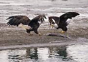 Alaska. Bald Eagle (Haliaeetus leucocephalus) stand off over a chum salmon along the Chilkat River, Haines.