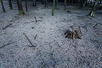 Bramblings (Fringilla montifringilla) fenyőpinty<br /> Lödersdorf, Austria