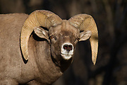 Stock photo of bighorn sheep captured in Colorado.  During the rut, rams have butting contests, which increase as the season progresses.  Horn size determine status.