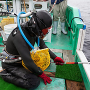 Inaba-san, the only remaining Ama diver in Futo harbor, getting ready to go into the ocean for work. The metal tool in her hand is used to pry shells from the rocks. She keeps what she gathers in the yellow net, which can be brought up to the surface by her husband and exchanged for a new net while she is still submerged. The hoses supply air and facilitate voice communication to ensure coordination between the husband and wife team.