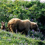 Alaskan Brown Bear, (Ursus middendorffi) Mother and cub of the year on wildflower hillside. Katmai National Park. Alaska. June. Late Spring.