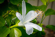 Native White Hawaiian Hibiscus