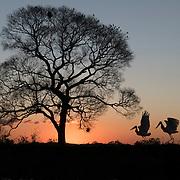 A pair of jabiru storks on the Pixaim riverbank. Pantanal, Brazil