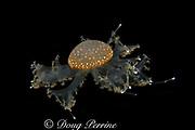 spotted jellyfish or sea jelly, Phyllorhiza punctata, Australia