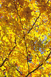 Autumn golden yellow trees leaves canopy colourful