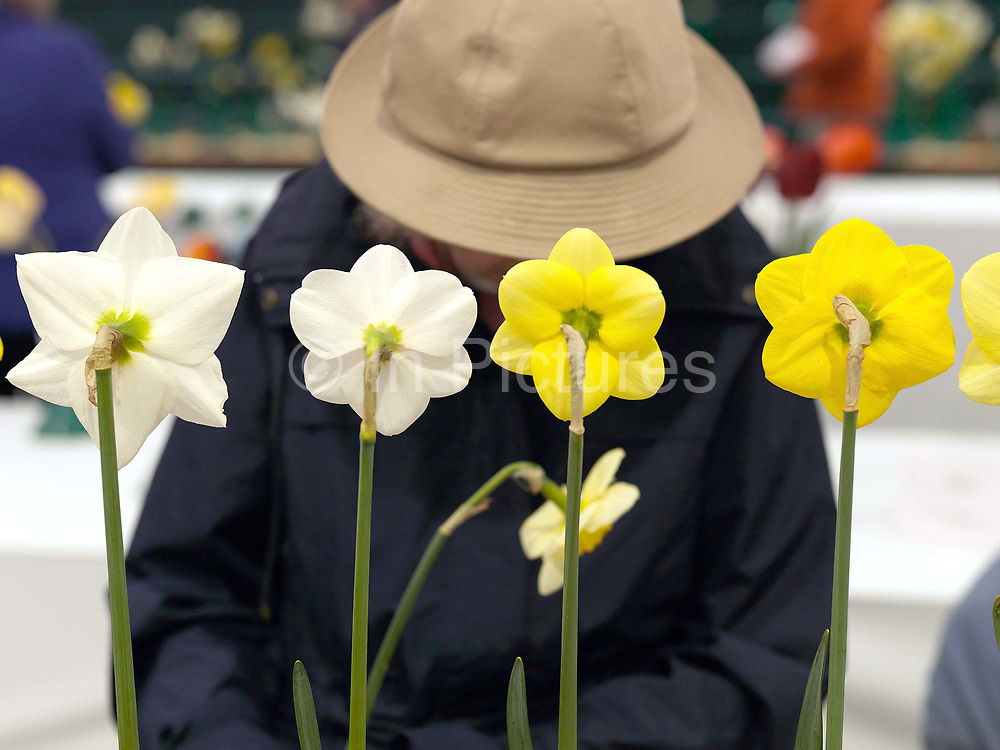 An elderly woman prepares her narcissi ready for showing at the Harrogate Spring Show, Harrogate, North Yorkshire, UK