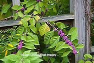 65821-00402 American Beautyberry (Callicarpa americana) North Carolina Botanical Garden, Chapel Hill, NC