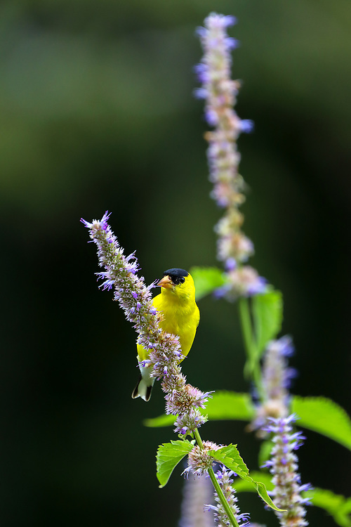 Nature photography from Greater Boston area bird photographer Juergen Roth showing an American Goldfinch in brilliant yellow colors at The Gardens at Elm Bank in Wellesley, MA. Elm Bank is a beautiful outdoor area that features the garden, soccer fields and hiking trails along Charles River.<br /> <br /> Bird photography pictures of this male goldfinch are available as museum quality photo prints, canvas prints, wood prints, acrylic prints or metal prints. Fine art prints may be framed and matted to the individual liking and decorating needs:<br /> <br /> https://juergen-roth.pixels.com/featured/male-american-goldfinch-juergen-roth.html<br /> <br /> All digital bird photo images are available for photography image licensing at www.RothGalleries.com. Please contact me direct with any questions or request.<br /> <br /> Good light and happy photo making!<br /> <br /> My best,<br /> <br /> Juergen<br /> Prints: http://www.rothgalleries.com<br /> Photo Blog: http://whereintheworldisjuergen.blogspot.com<br /> Instagram: https://www.instagram.com/rothgalleries<br /> Twitter: https://twitter.com/naturefineart<br /> Facebook: https://www.facebook.com/naturefineart