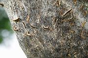 Nederland, Ubbergen, 14-6-2020 Een nest van de eikenprocessierups zit ingekapseld aan een boom . eikenprocessierupsen, kolonie, nest . Foto: Flip Franssen